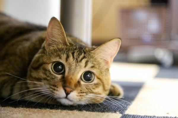 つぶらな瞳の猫