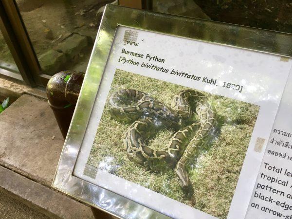 ビルマニシキヘビ1