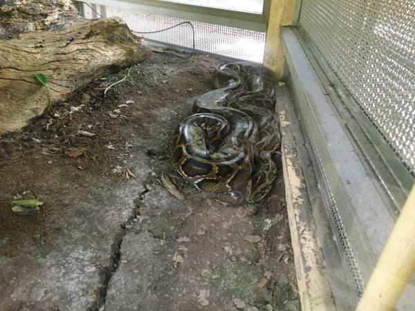 ビルマニシキヘビ2