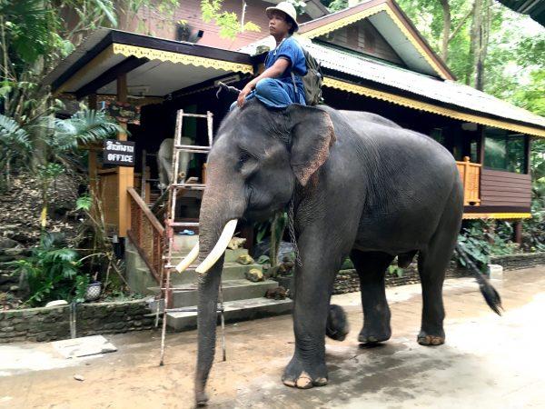 キャンプ内を歩く象