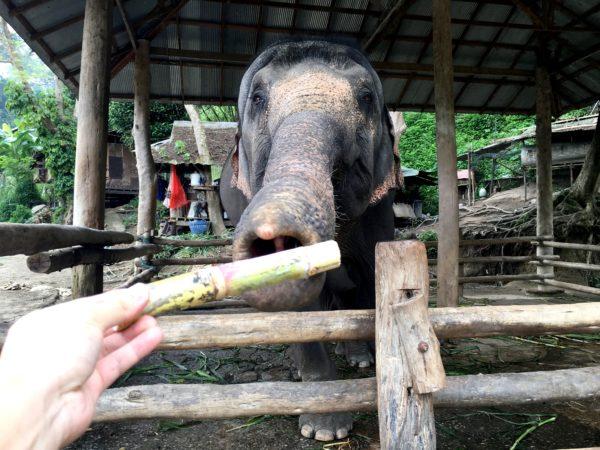 メーサーエレファントキャンプでの象への餌やり