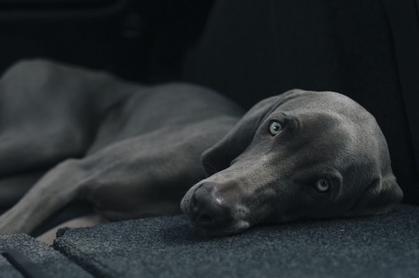 疲れた表情の犬