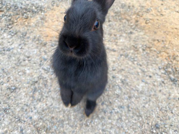バラタ カオヤイ リゾート(Valata Khaoyai Resort)で飼われているウサギ1