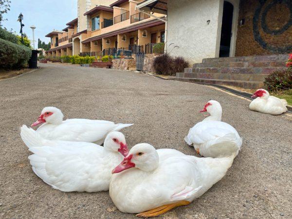 バラタ カオヤイ リゾート(Valata Khaoyai Resort)で飼われているアヒル