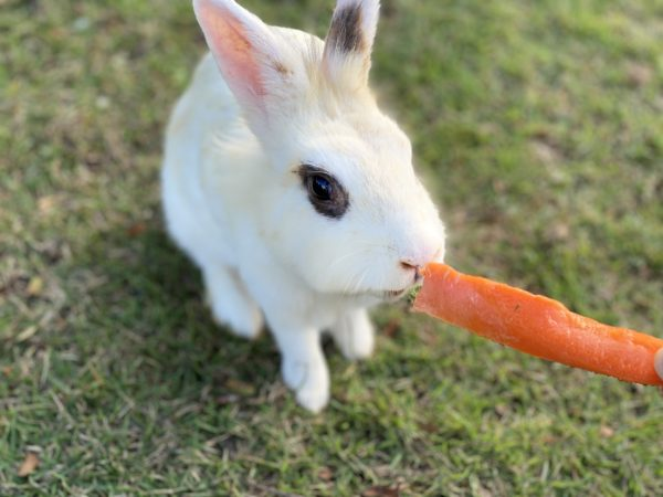 バラタ カオヤイ リゾート(Valata Khaoyai Resort)で飼われているウサギ2
