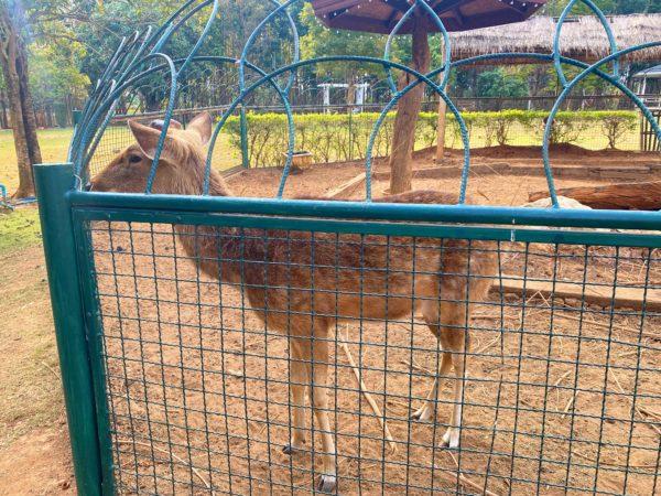 バラタ カオヤイ リゾート(Valata Khaoyai Resort)で飼育されている鹿
