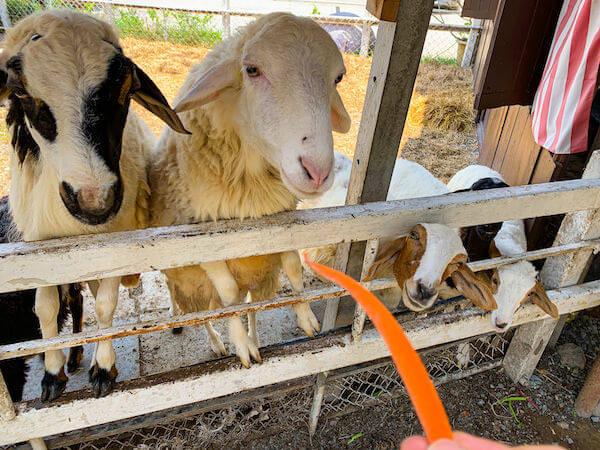 クローンラットマヨム水上マーケットで飼われている羊とヤギ