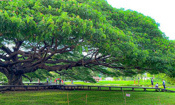 横から見た巨大な合歓の木