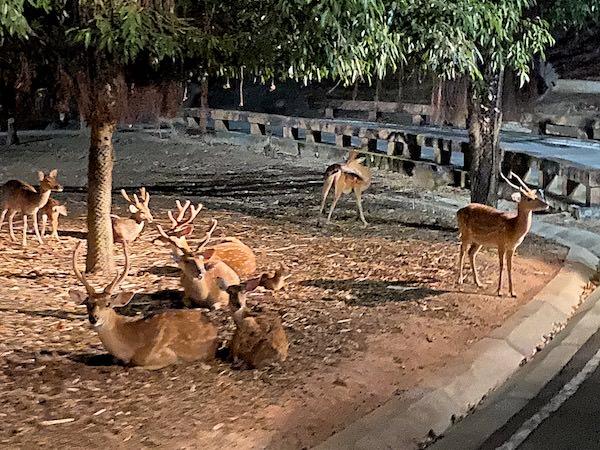 チェンマイナイトサファリ(ChiangMai Night Safari)の鹿