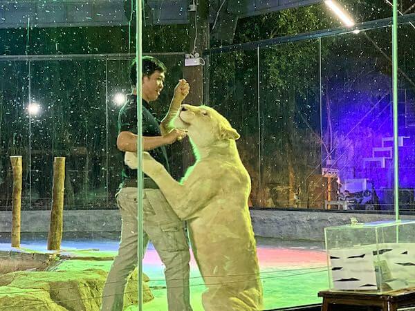 チェンマイナイトサファリ(ChiangMai Night Safari)のタイガーショー