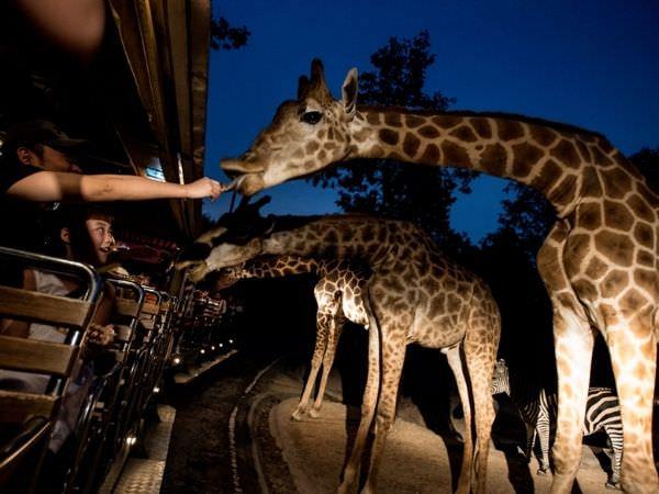 チェンマイナイトサファリ(ChiangMai Night Safari)のキリン2