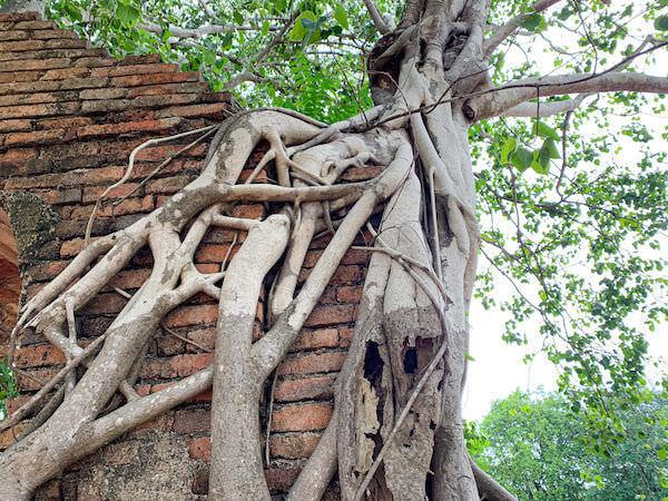 ワット・プラガーム(Wat Phra Ngam)のアーチ状の門を侵食している菩提樹