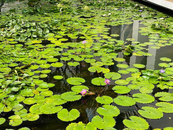 ザ スコータイ バンコク(The Sukhothai Bangkok)の蓮池2