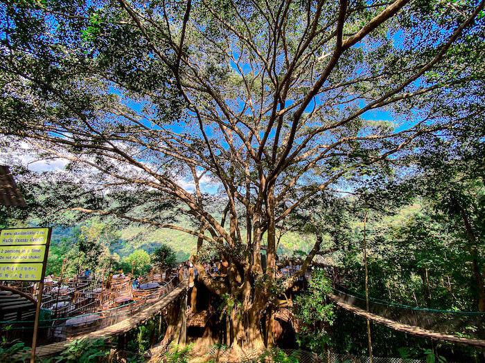 ザ・ジャイアント・チェンマイ中央に立つ巨大なガジュマルの木
