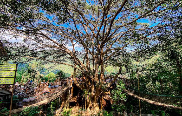ザ・ジャイアント・チェンマイ中央に立つ巨大なガジュマルの木2