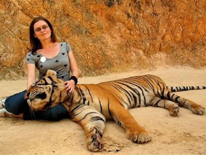 タイガーテンプルでトラと触れ合う観光客