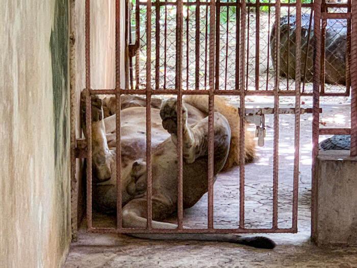 タイガーテンプルに放置されていた一頭のライオン