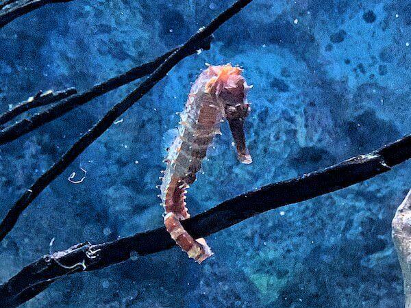 バンセン海洋科学研究所に展示されているタツノオトシゴ
