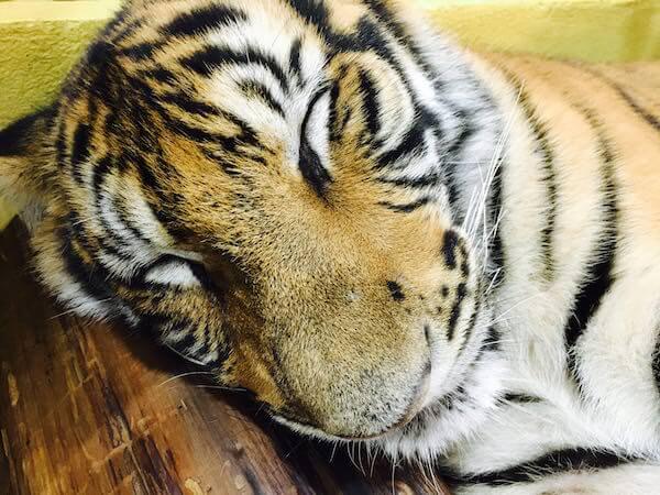 赤ちゃん虎の寝顔