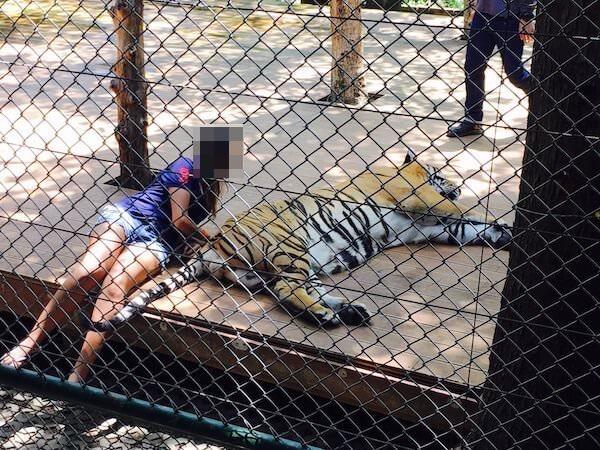 他の観光客が虎と写真撮影している様子