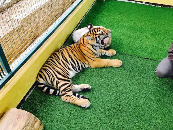 生後7ヶ月の赤ちゃん虎