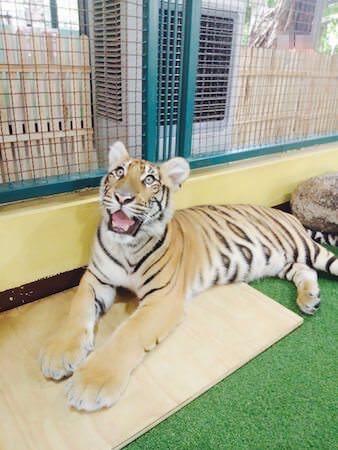 固まる赤ちゃん虎