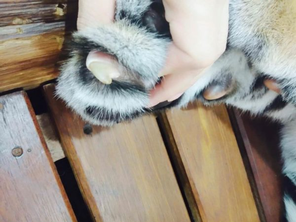 赤ちゃん虎の爪