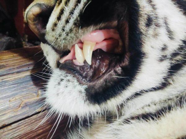 赤ちゃん虎の牙