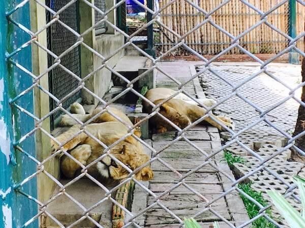 タイガーキングダムのライオン