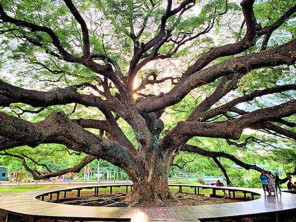カンチャナブリーにある巨大な合歓の木2