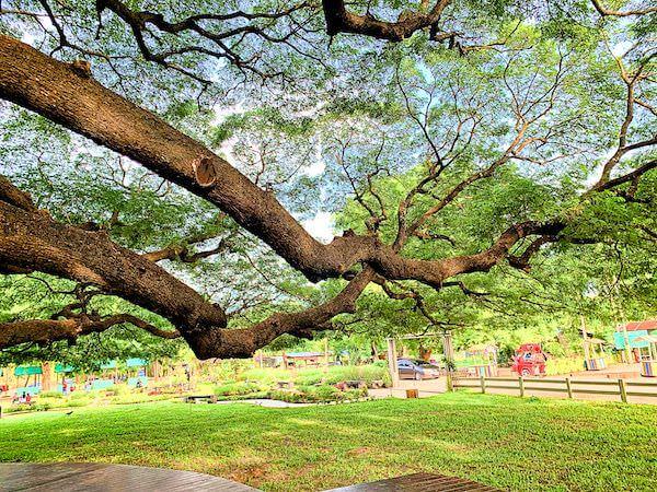 巨大な合歓の木の枝