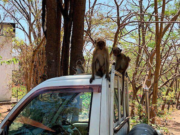 カオヒンレックファイに生息する野生の猿