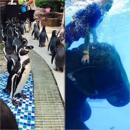 カオキアオ動物園 ペンギンショーと象の水泳ショー