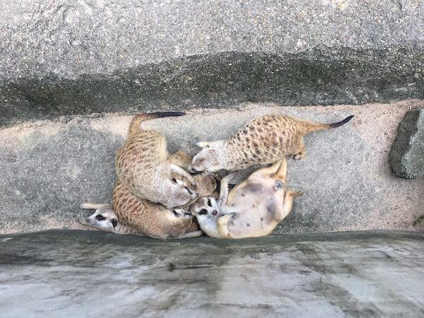 カオキアオ動物園のミーアキャット