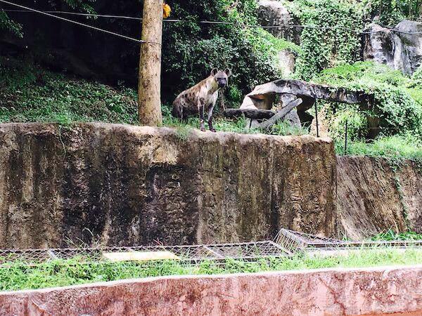 カオキアオ動物園のハイエナ