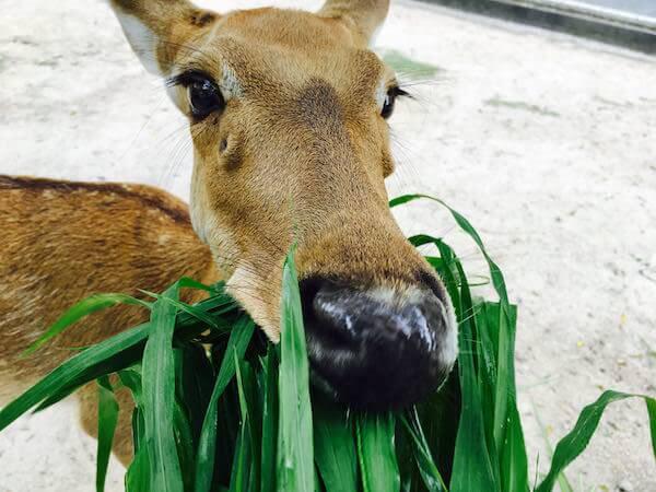 カオキアオ動物園のターミンジカ