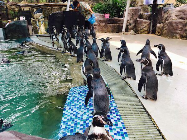 カオキアオ動物園のペンギンショー