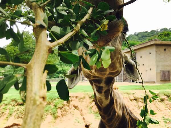 カオキアオ動物園のキリン