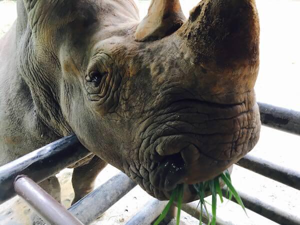 カオキアオ動物園のスマトラサイ