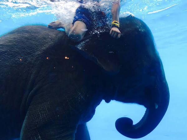 象の水泳ショー1