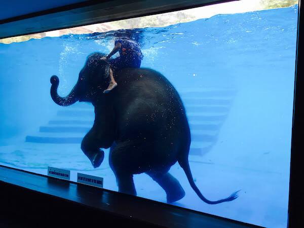 象の水泳ショー2