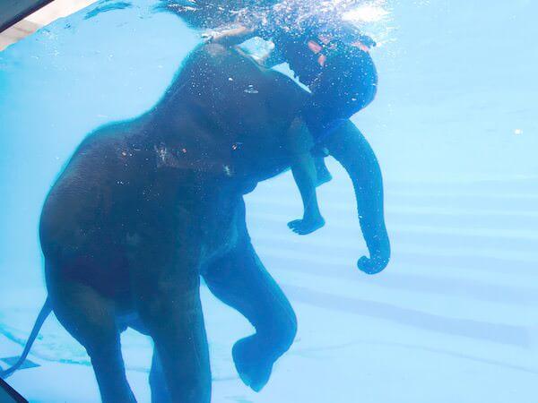 象の水泳ショー3