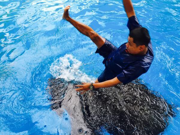 象の水泳ショー4