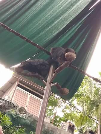 餌を食べるアライグマ