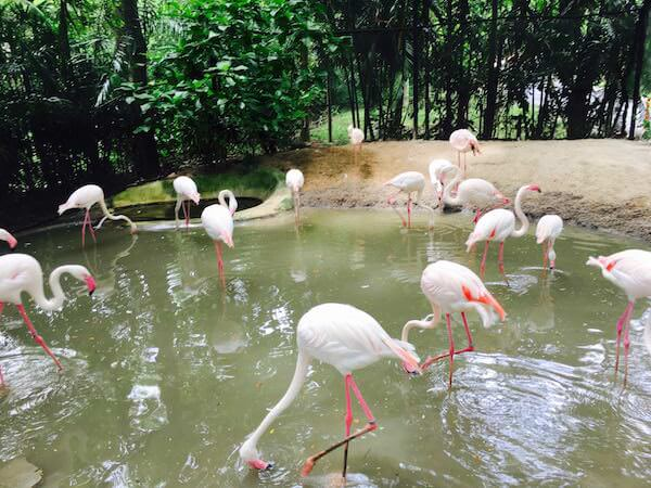 カオキアオ動物園のフラミンゴ
