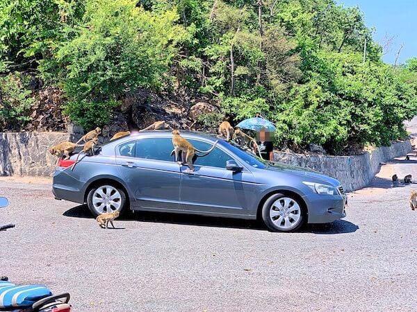 猿山を通る車に群がる大量の猿