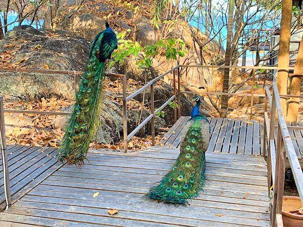 マンノーク島に生息する孔雀1