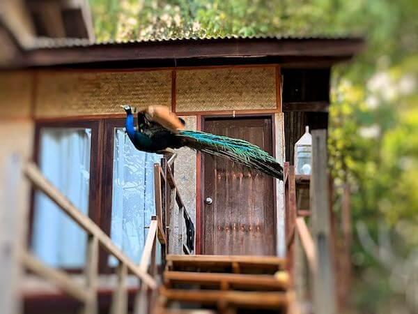 マンノーク島に生息する孔雀2