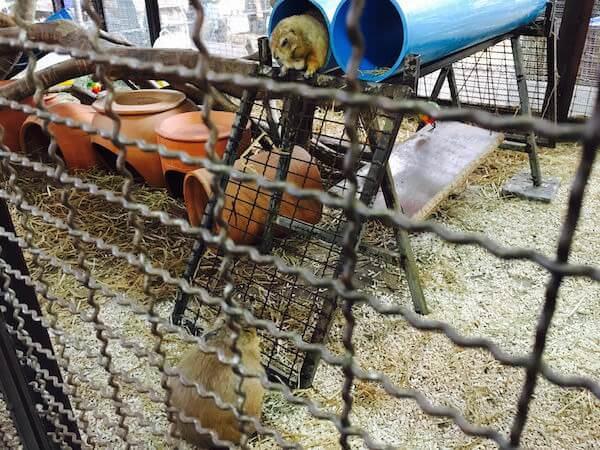 クワンリアム水上マーケットのプレーリードッグ