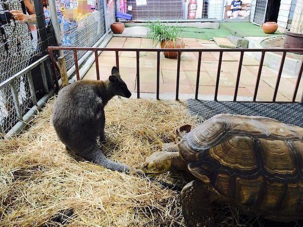カンガルーと亀の共存